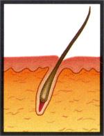 Konečná fáze (tzv.telogen), která trvá asi 5 - 6 týdnů, na jejímž konci vlas vypadává a začíná růst nový vlas.